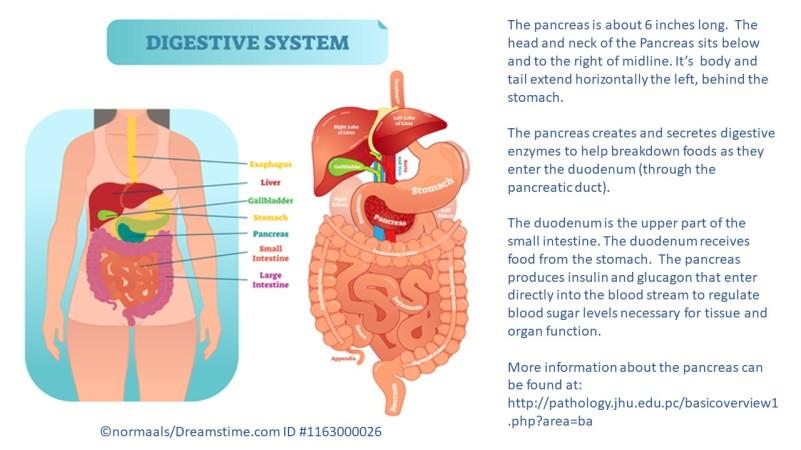 DigestiveSystemOverallAnatomy