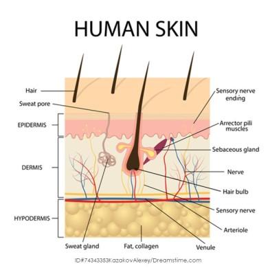 AnatomyoftheSkin