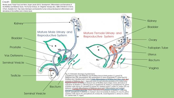 MatureReproductiveSystems