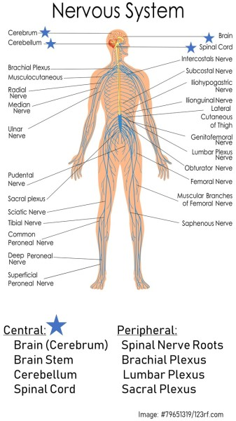 NervousSystemAnatomy