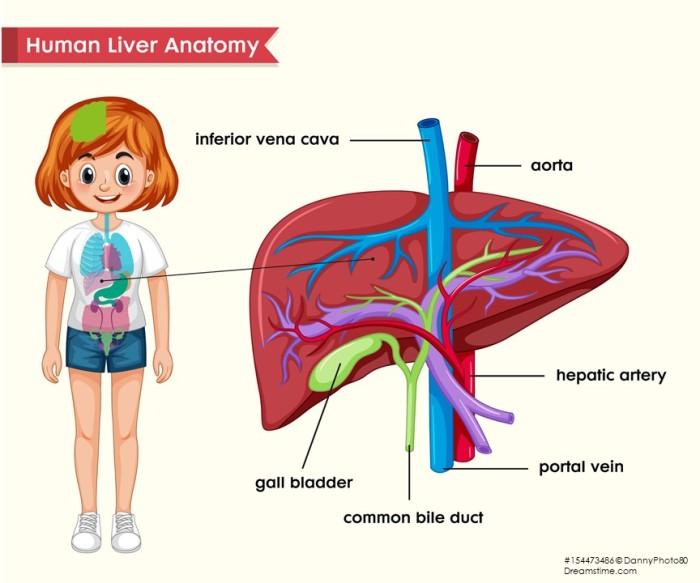 LiverAnatomyFemale