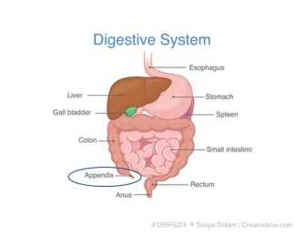 Appendix Digestive System Overview